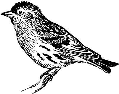 щёголь птица фото